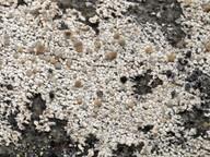 Lecanora swartzii
