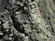 Lecanora conizaeoides