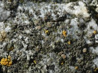 Lecanora salina