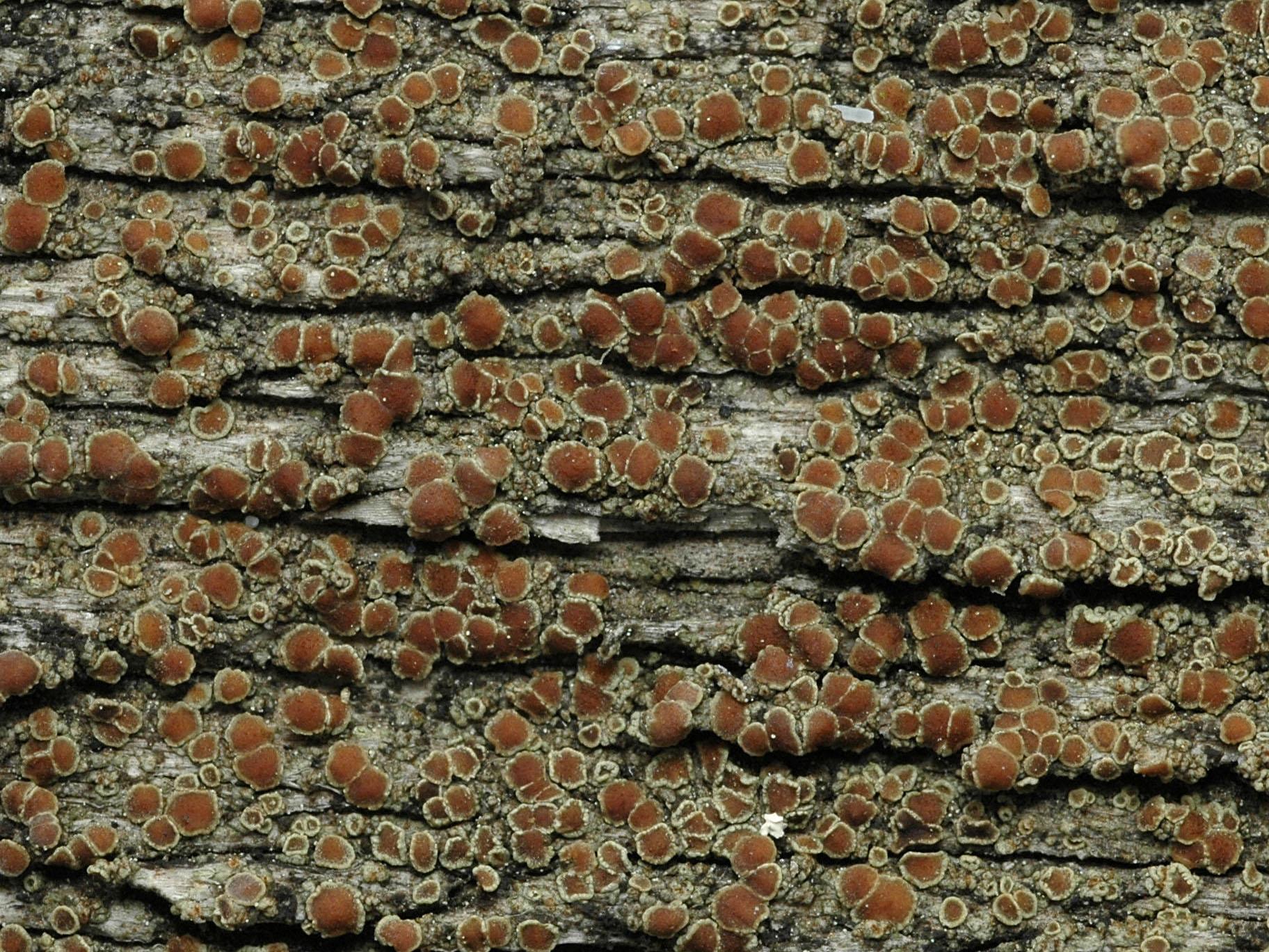 Lecanora saligna