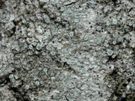 Lecanora populicola