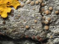 Lecanora sambuci