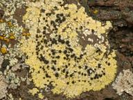 Lecanora sulphurella
