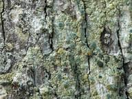 Lecanora sublivescens