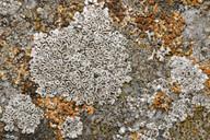 Lecanora albescens