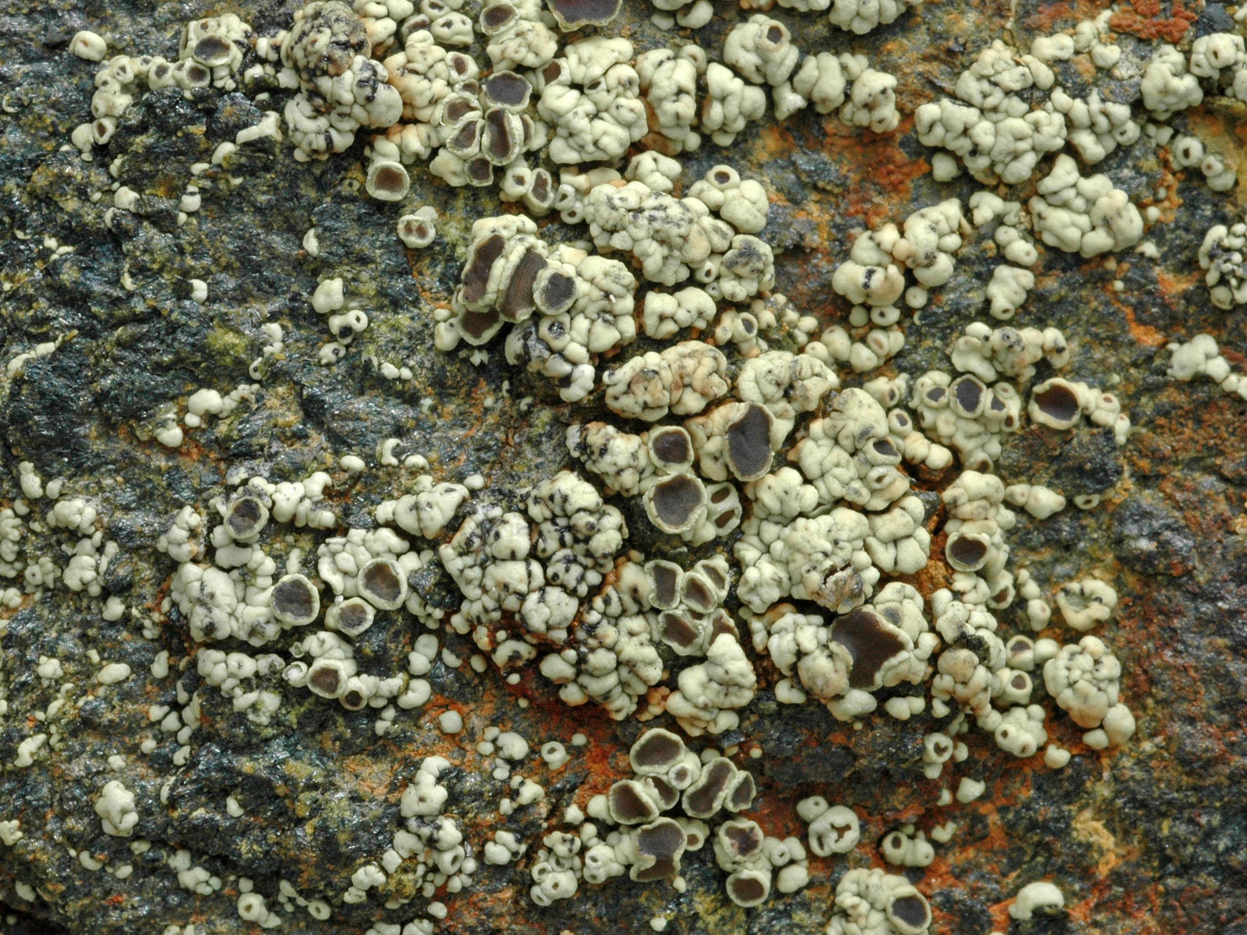 Lecanora frustulosa