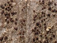 Lecanora hypoptella