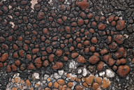 Lecidea atrobrunnea