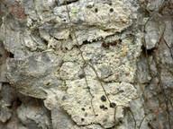 Lecidea leprarioides