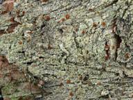 Lecidea porphyrospoda