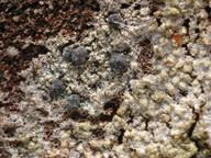 Lecidea turgidula