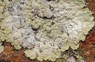Lepraria membranacea