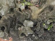 Leptogium hibernicum