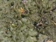 Leptogium brebissonii