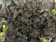 Leptogium burgessii