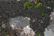 Leptogium palmatum