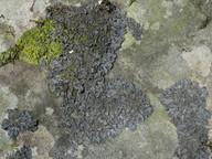 Leptogium cyanescens