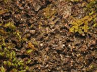 Leptogium magnussonii