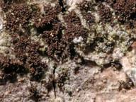 Leptogium teretiusculum