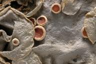 Leptogium cochleatum