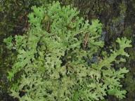 Lobaria macaronesica