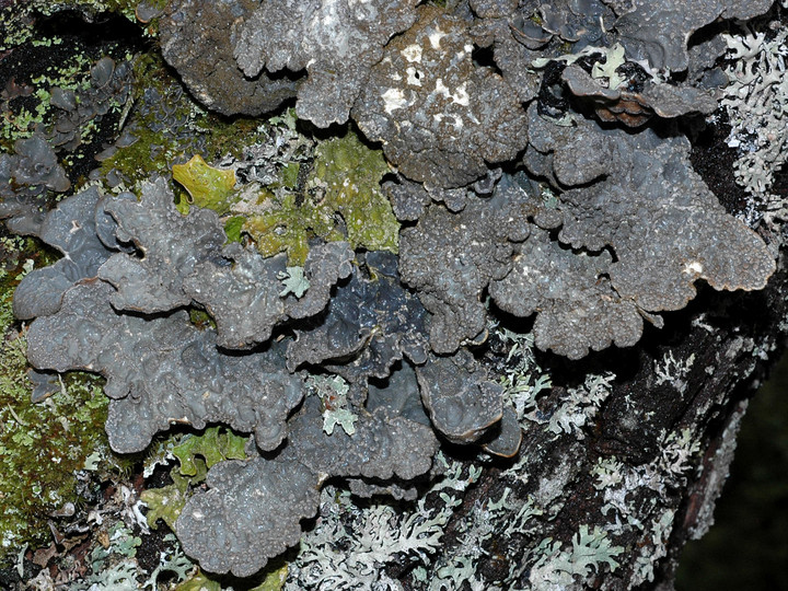 Lobaria scrobiculata