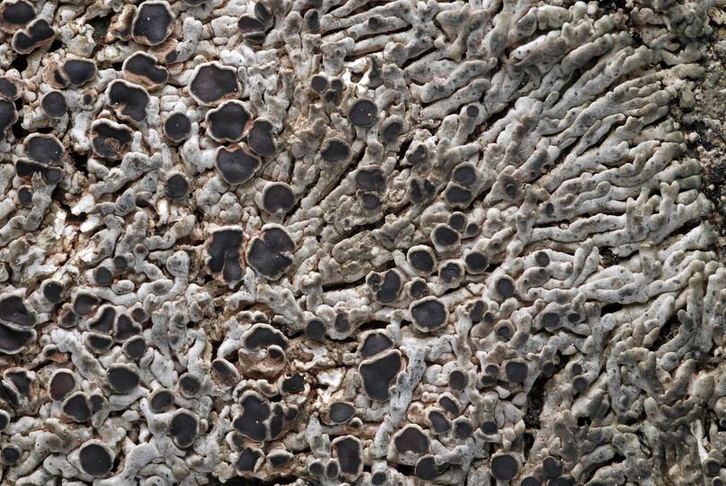 Lobothallia melanaspis