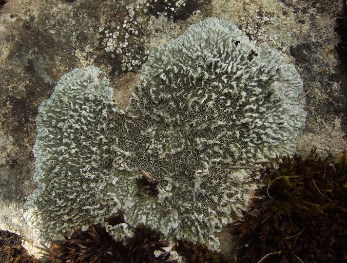 Lobothallia radiosa