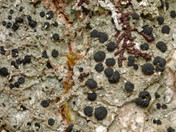 Megalaria grossa