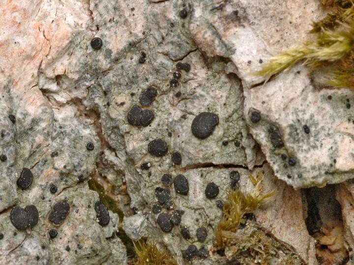 Megalaria grossa