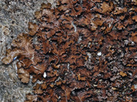 Melanelia infumata