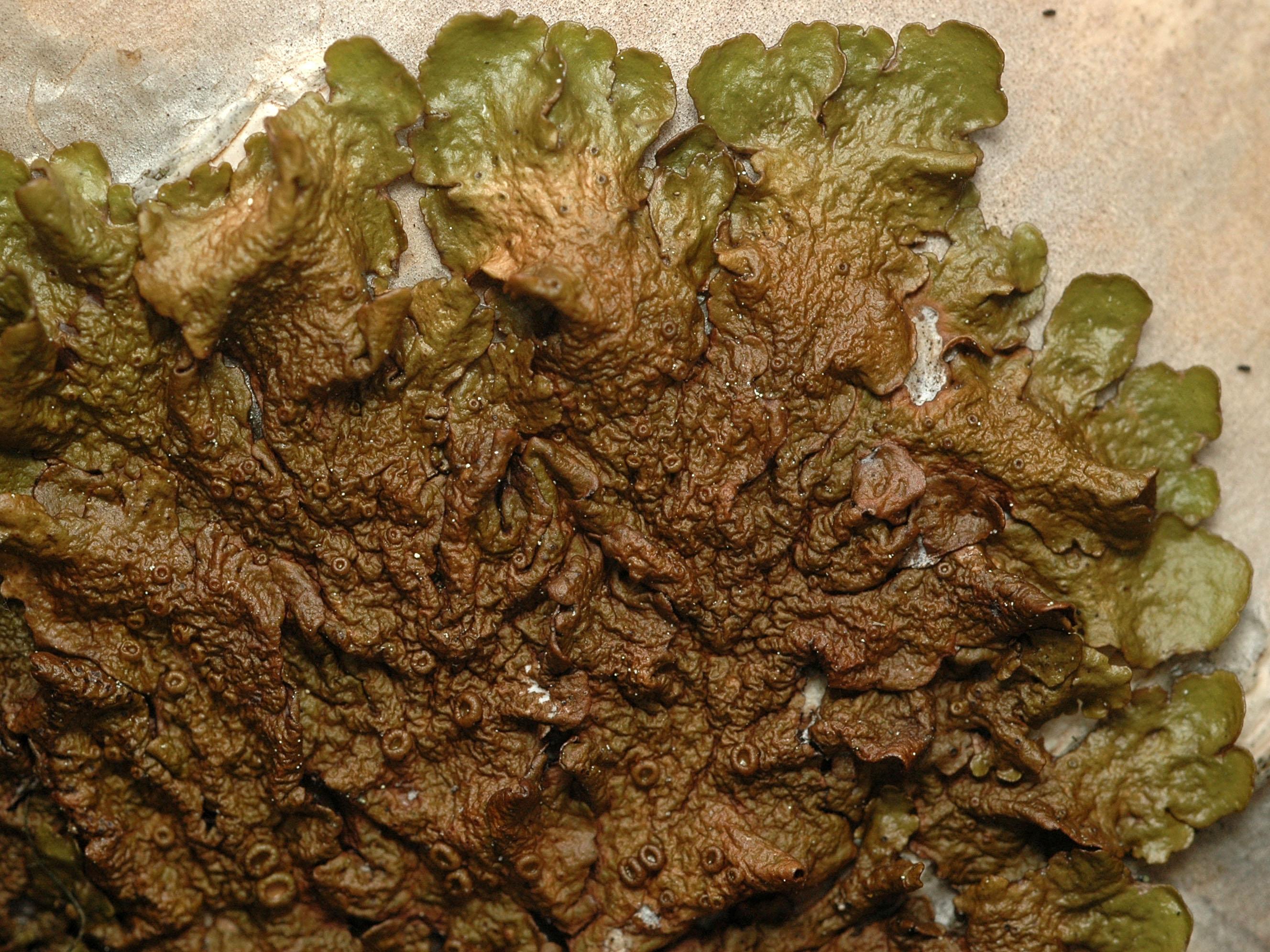 Melanelia olivacea