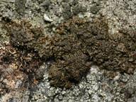 Melanelia panniformis