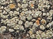 Muhria urceolata