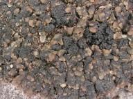 Mycobilimbia lurida