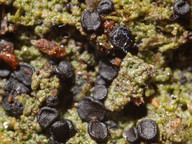 Mycobilimbia hypnorum