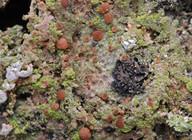 Mycobilimbia epixanthoides