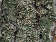 Mycobilimbia pilularis