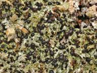 Mycobilimbia sabuletorum
