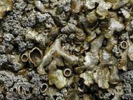 Neofuscelia loxodes