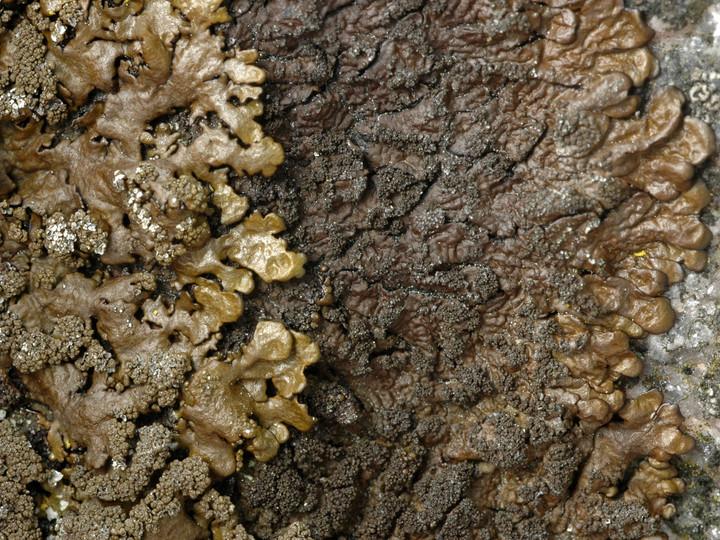 Neofuscelia verruculifera