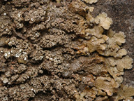 Neofuscelia verruculifera?