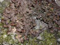 Nephroma laevigatum