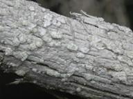 Ochrolechia alboflavescens