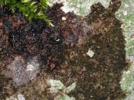 Opegrapha viridis
