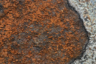 Opegrapha gyrocarpa