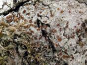Pachyphiale carneola
