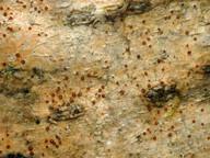 Pachyphiale ophiospora