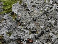 Parmeliella triptophylla