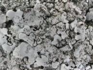 Parmelina pastellifera
